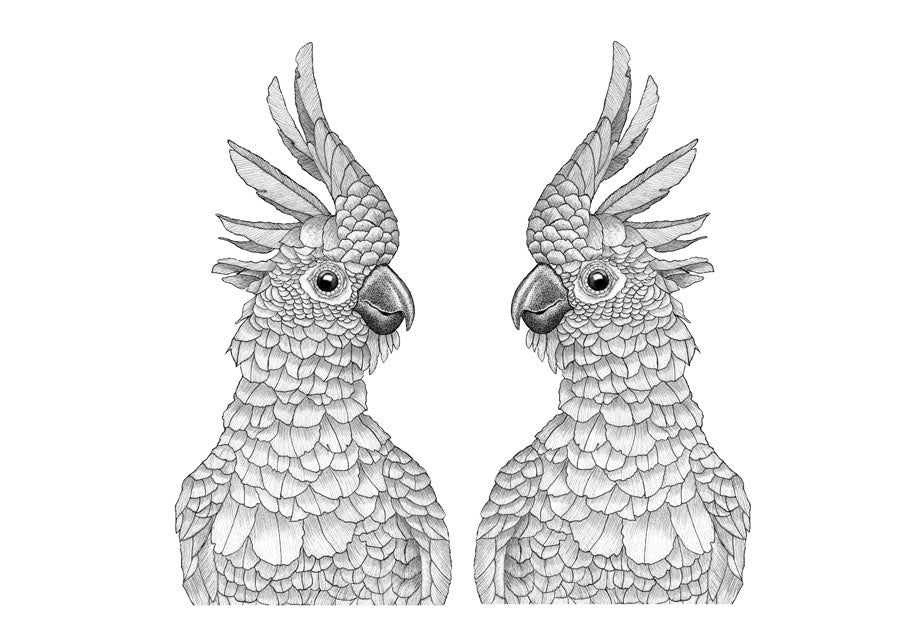 Image of Sulphur Crested Cockatoo couple