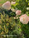 Hydrangea Autumn