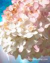 Hydrangea North Shore