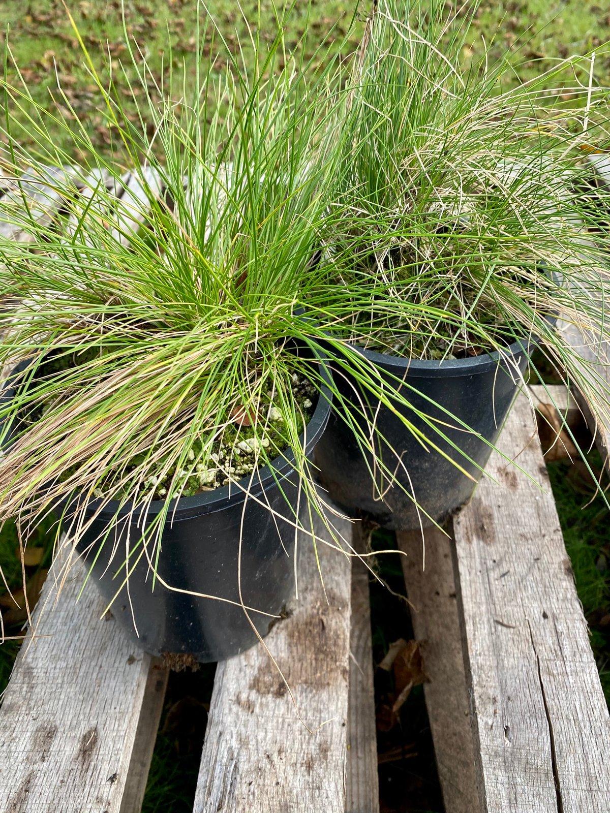 Idaho Fescue : Festuca idahoensis