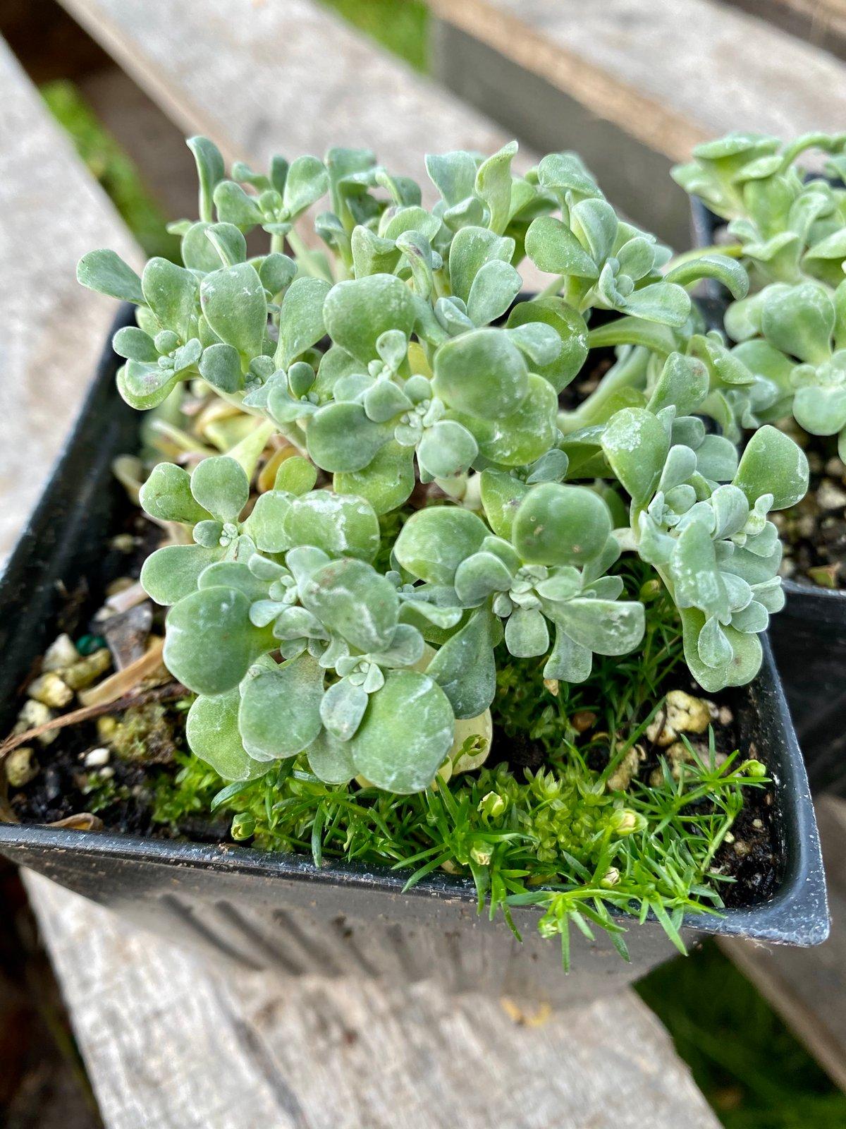 Broadleaf Stonecrop: Sedum spathulifolium