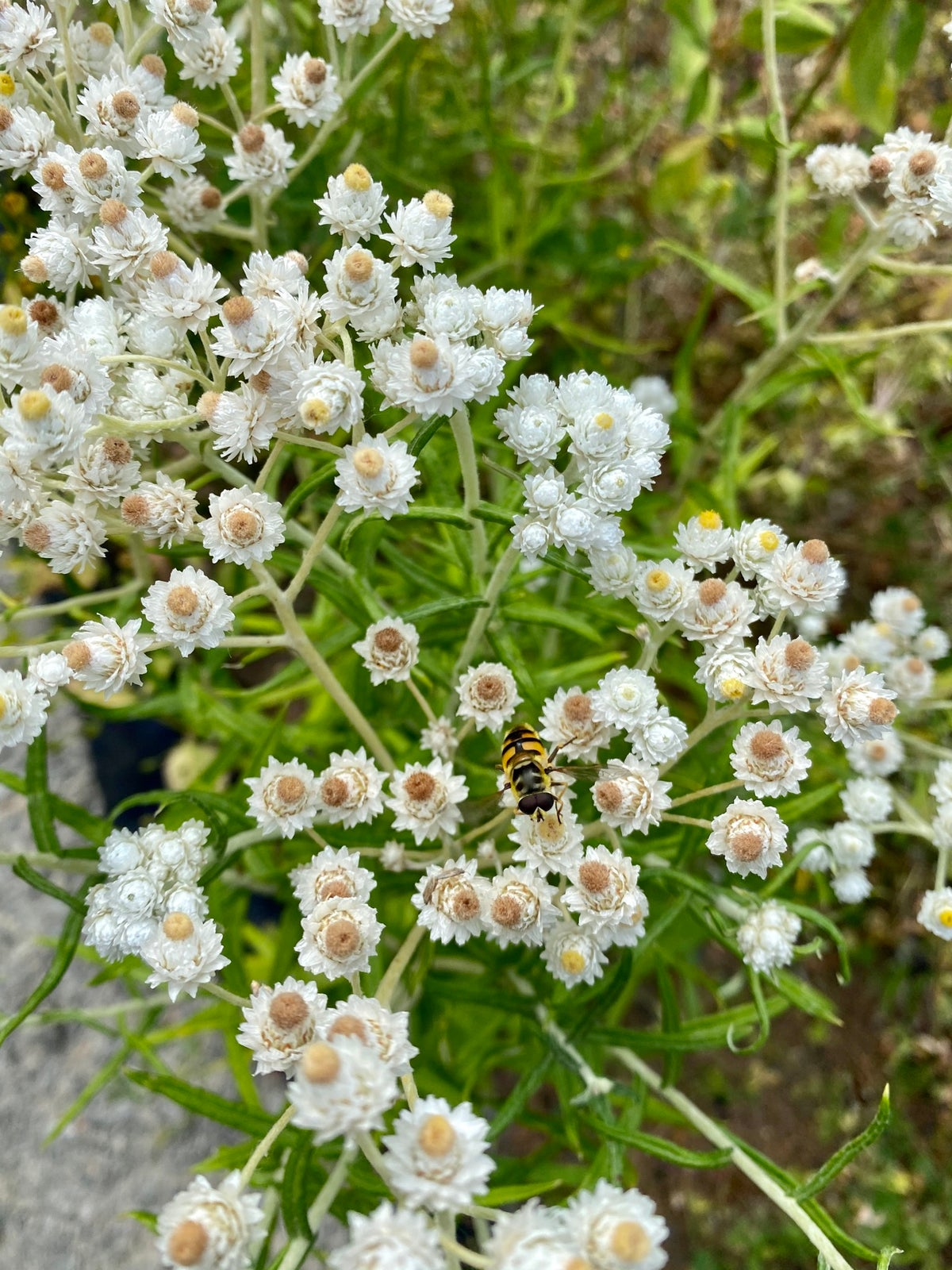 Pearly Everlasting : Anaphalis margaritacea