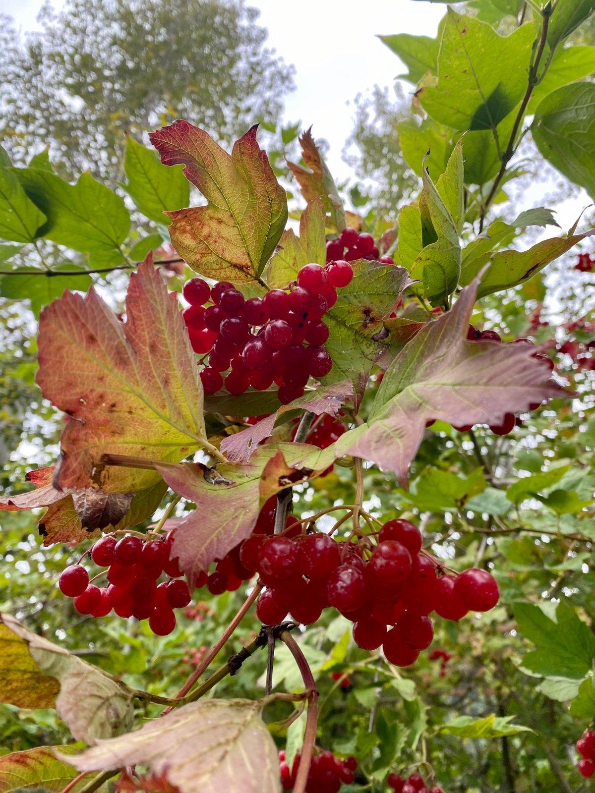 High Bush Cranberry : Viburnum trilobum