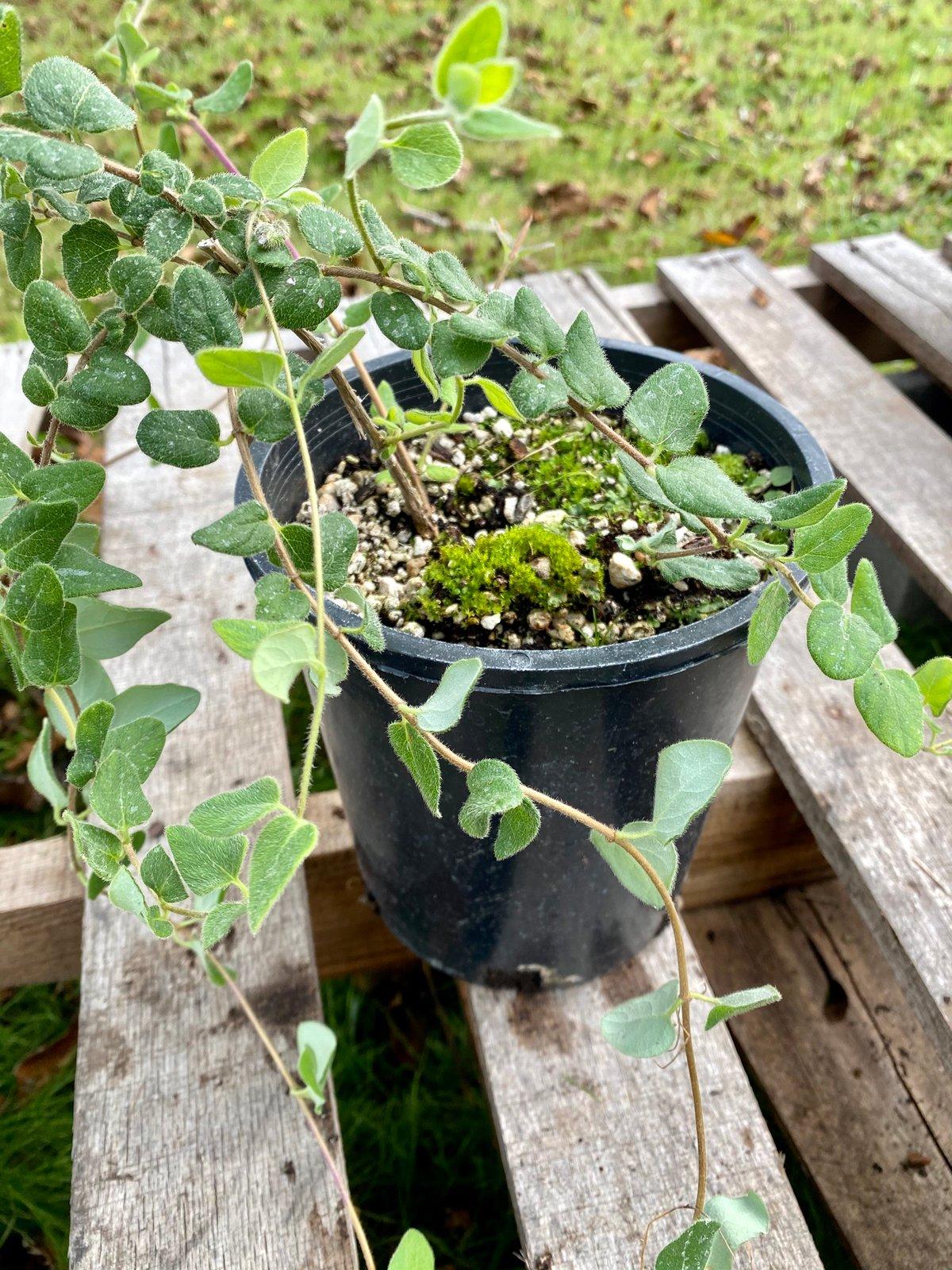 Evergreen honeysuckle : Lonicera henryi