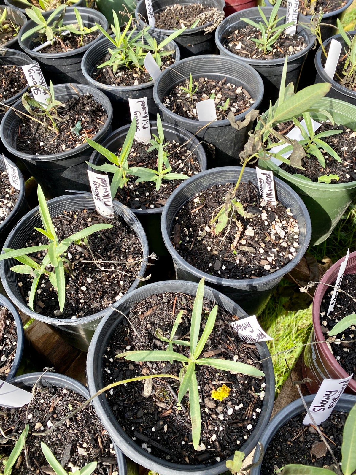 Showy Milkweed : Asclepias speciosa