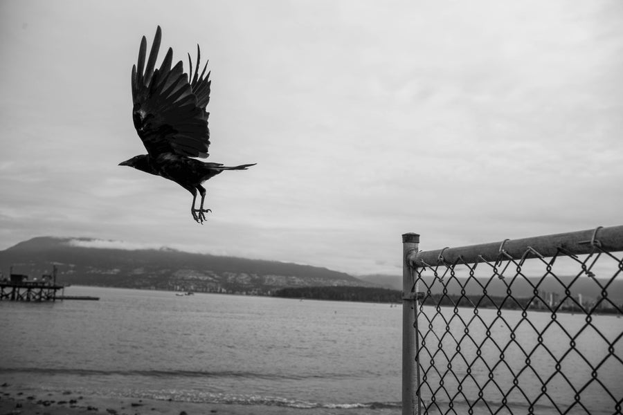 """Image of Fence Flight, Vancouver - 12"""" x 18"""""""