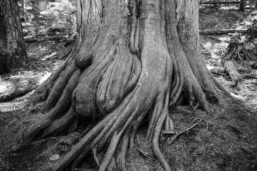 """Image of Ancient Roots, British Columbia - 12"""" x 18"""""""