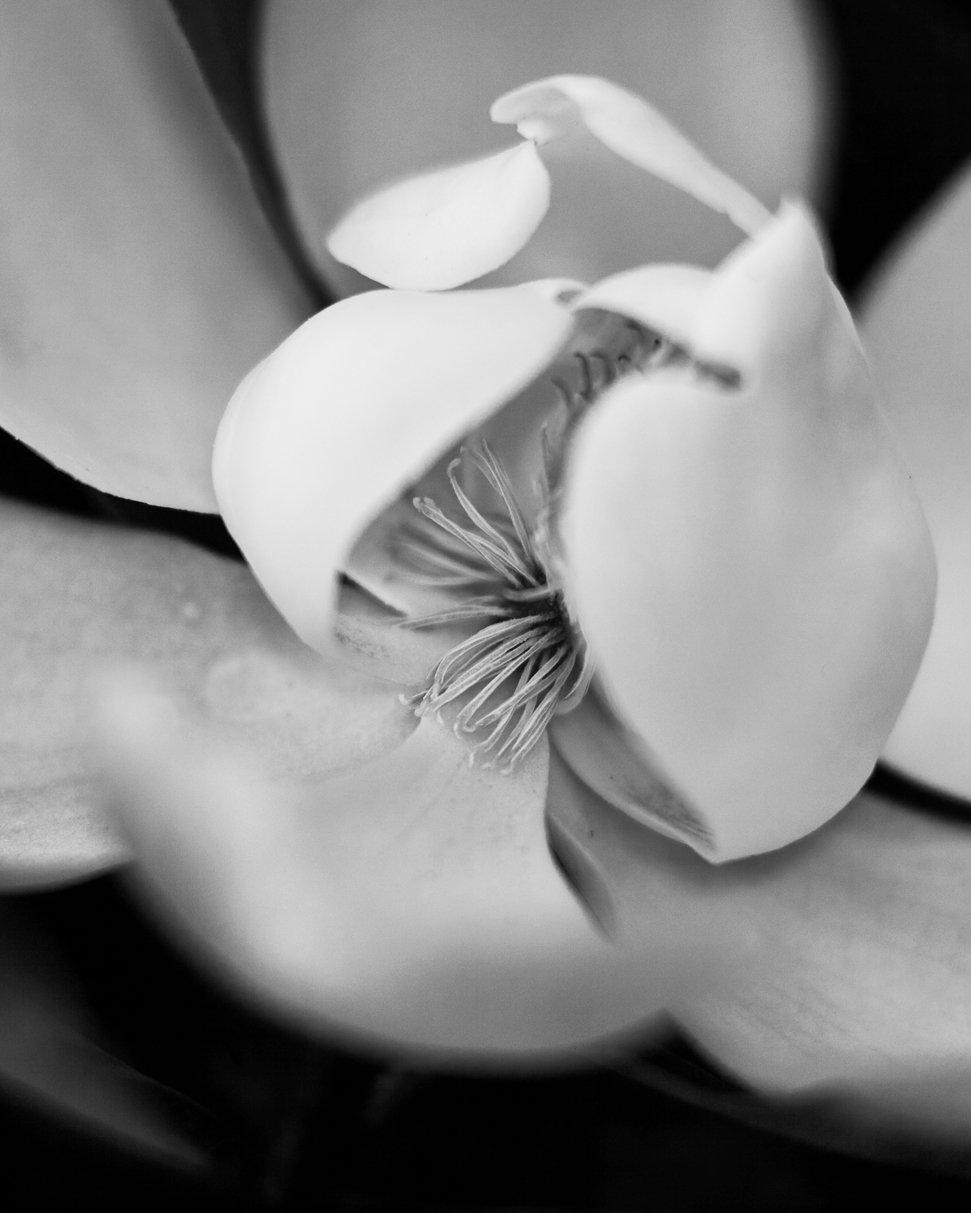 Magnolia no.34