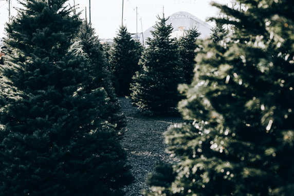Image of Xmas Tree Farm Sessions