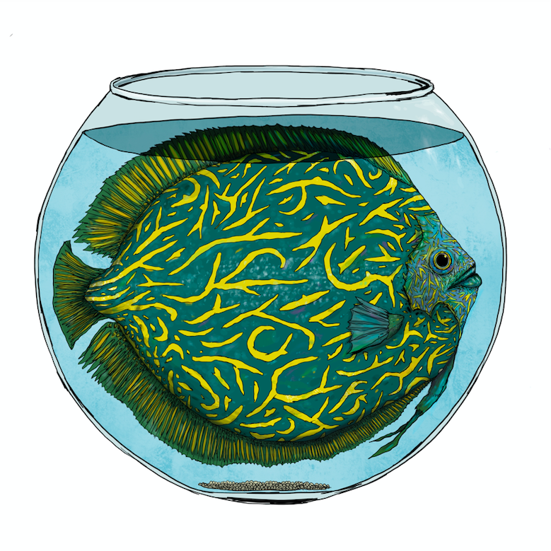 Image of Discus Léopard
