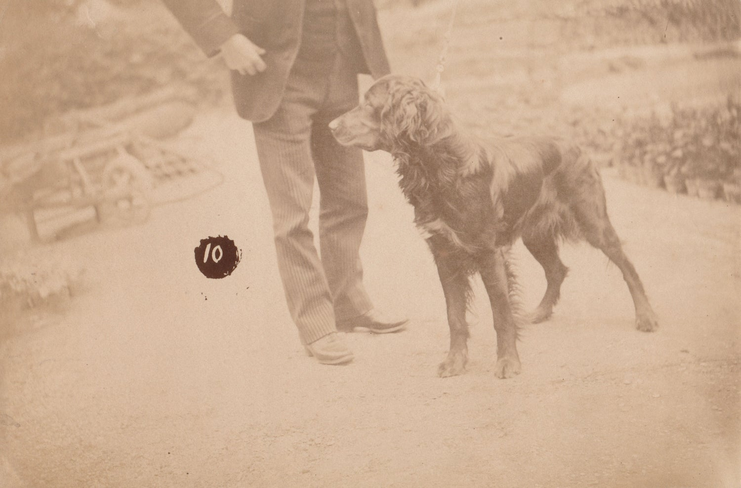 Image of Hunting dog posing for a numbered albumen print, ca. 1895