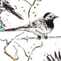 Pied Wagtail Drawing