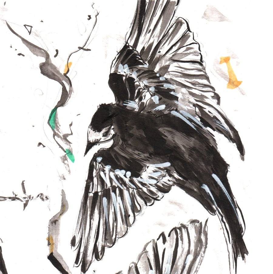 Image of Pied Wagtail Drawing