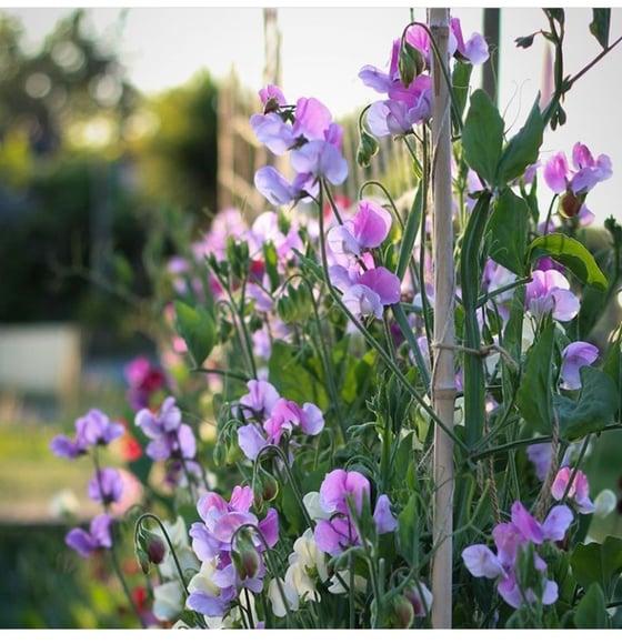 Image of Sweet pea Seeds