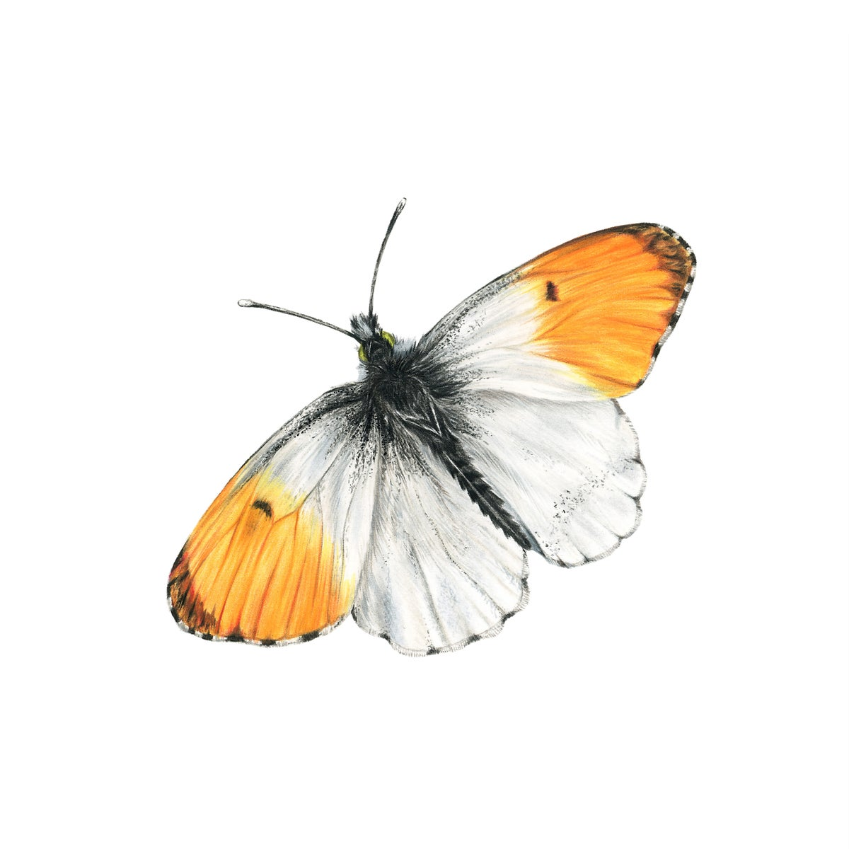 Image of Orange Tip Butterfly - Limited Edition Giclee Print