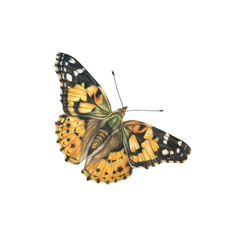 Image of Painted Lady Butterfly Limited Edition Print