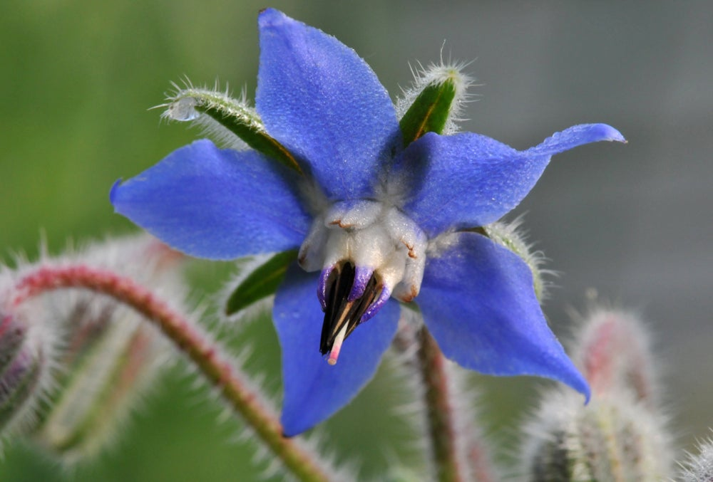 Image of Borage Essence-Happiness