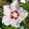 Hibiscus Essence- Female Sexuality