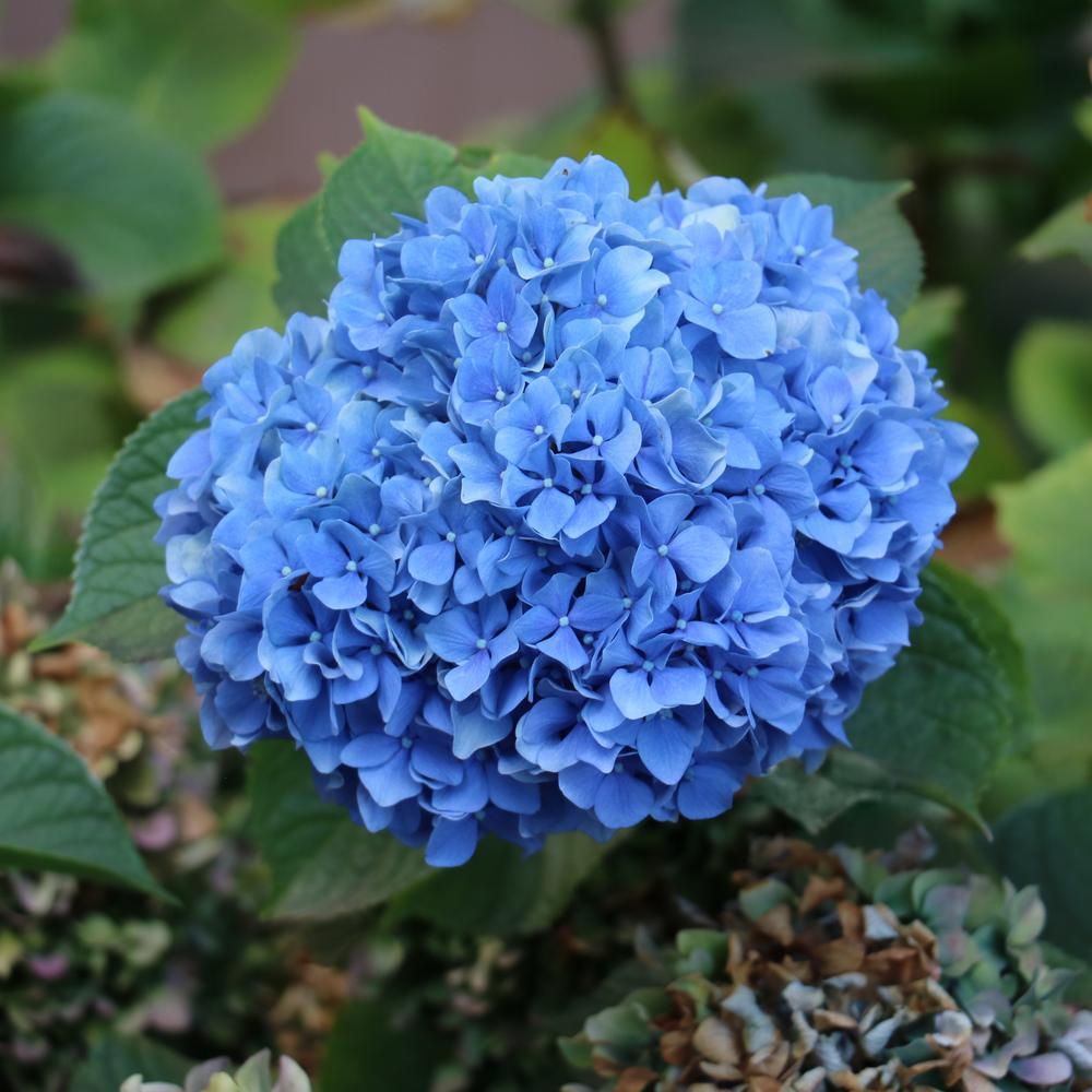Image of Hydrangea Essence-Chakra Awareness