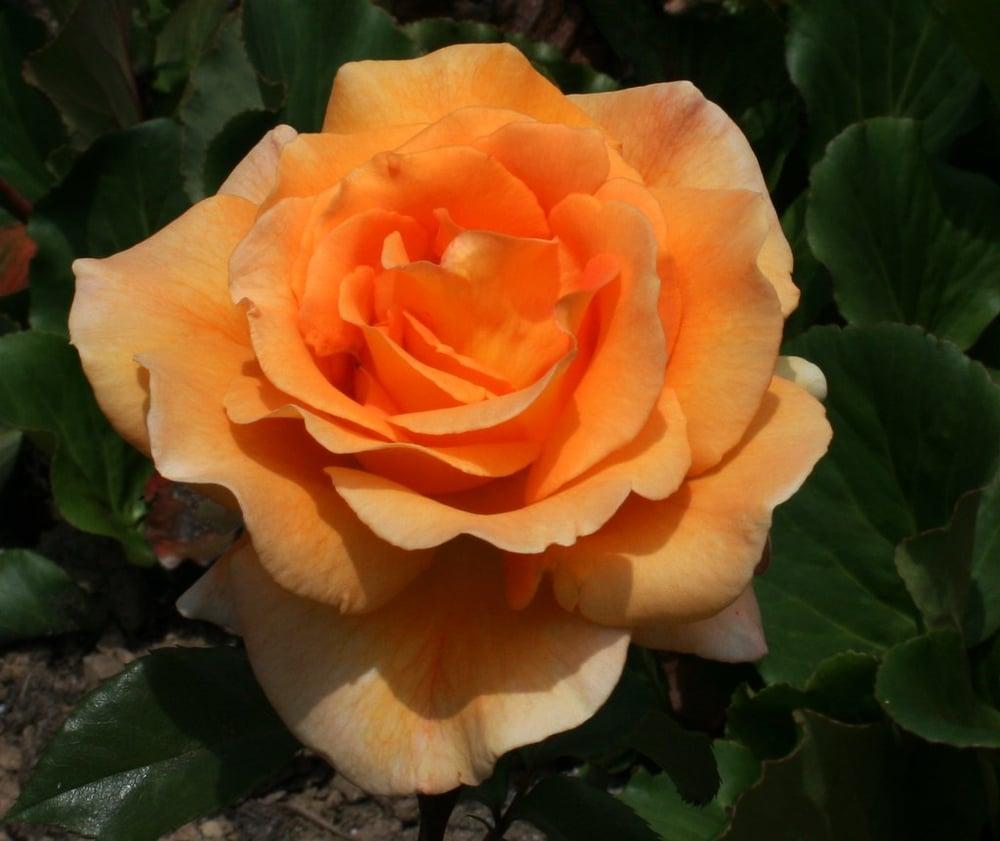 Image of Gold Rose Essence-Honest Communication