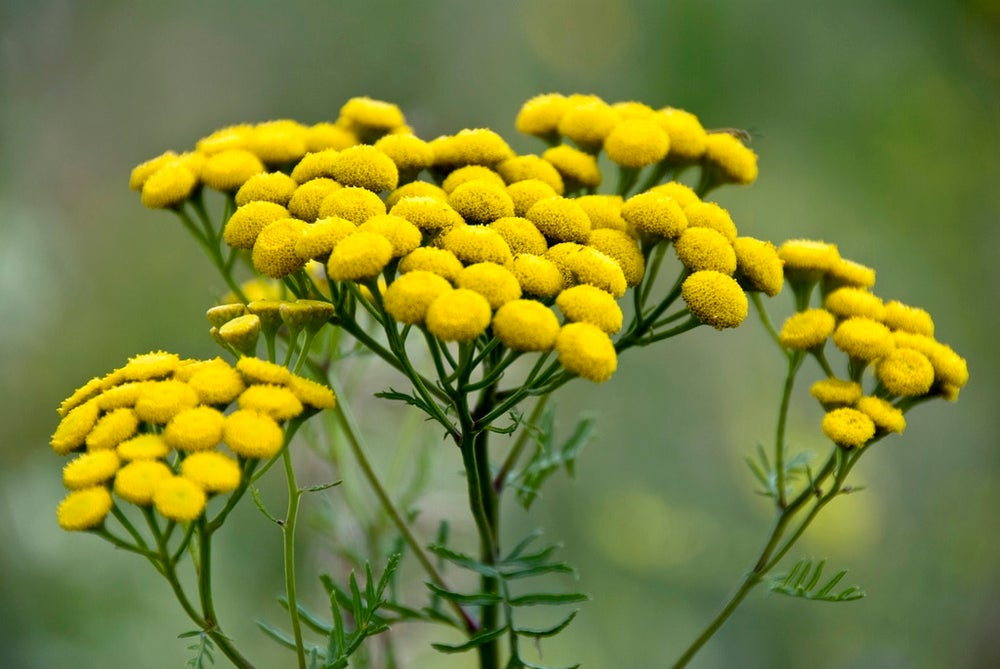 Image of Tansy Essence-Insight