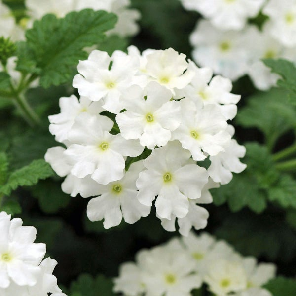 Image of Verbena Essence-Relax