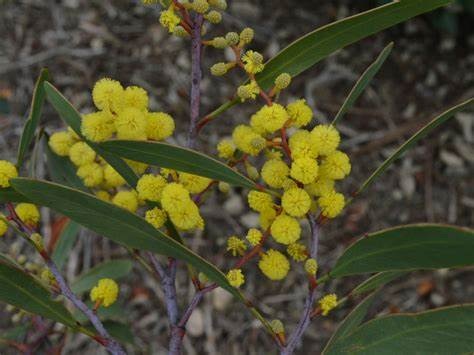 Image of Wattle Essence-Focus