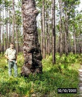 Image of Ol' Bumpy - Oldest Recorded Florida Longleaf Pine