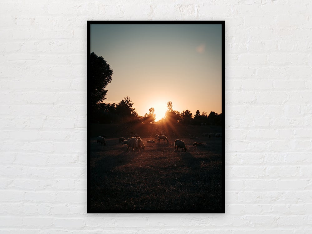 Image of Sunset Rhine Sheeps