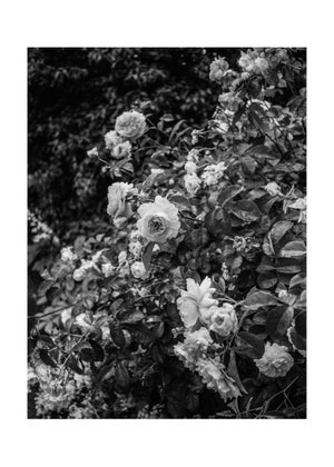 Image of Roses #01