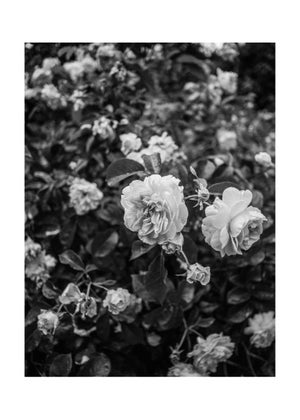 Image of Roses #02