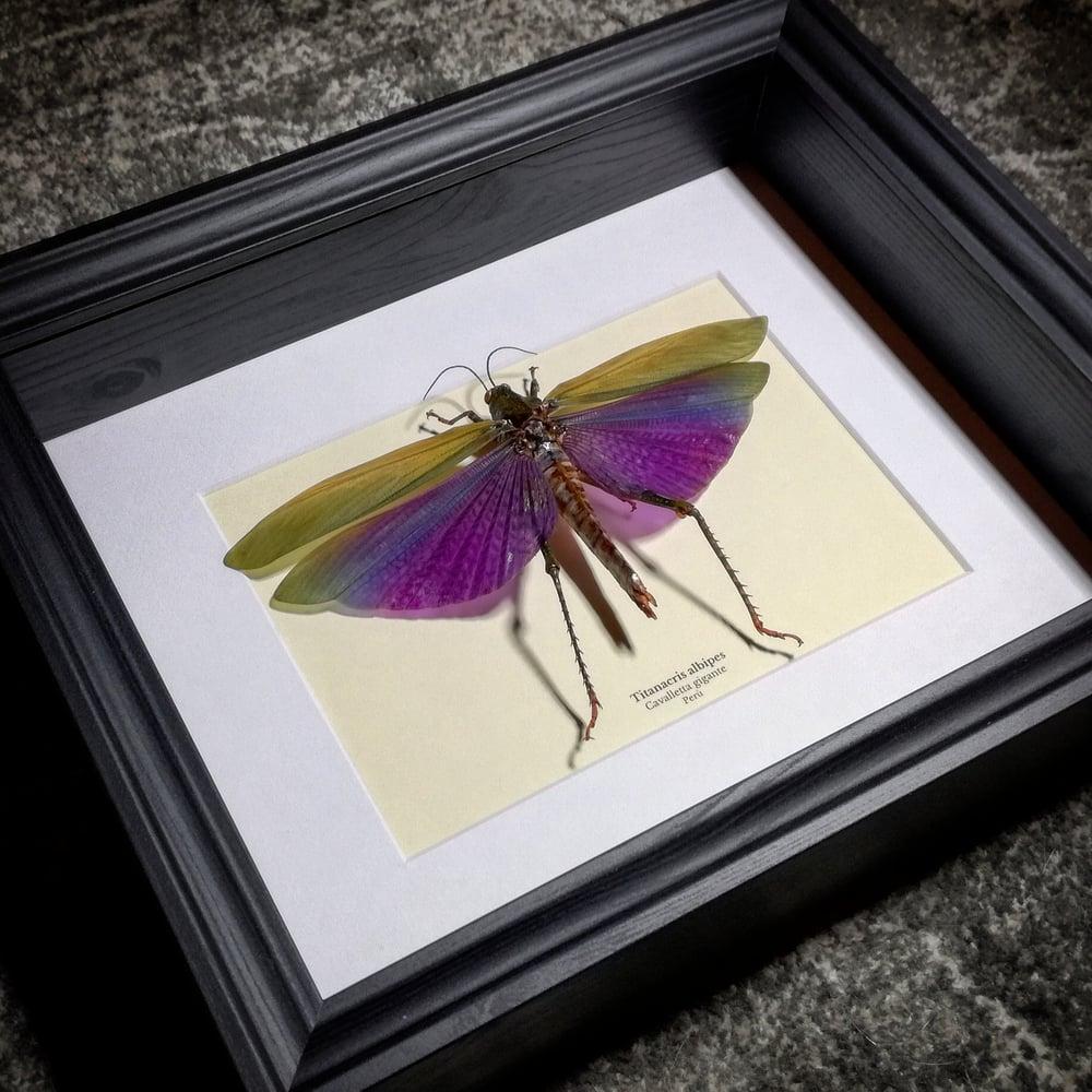 Image of Titanacris albipes *New frame