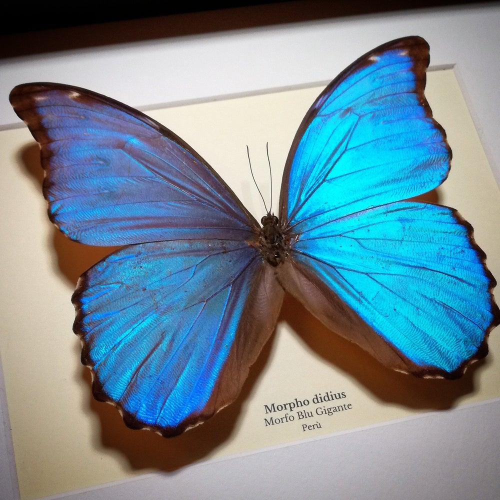 Image of Giant Blue Morpho