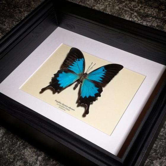 Image of Papilio ulysses ulysses *New frame