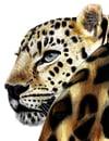 Amur Leopard (Print)