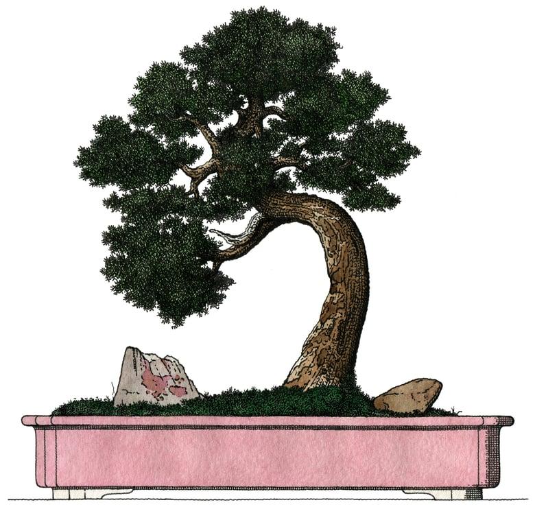 Image of Pink juniper