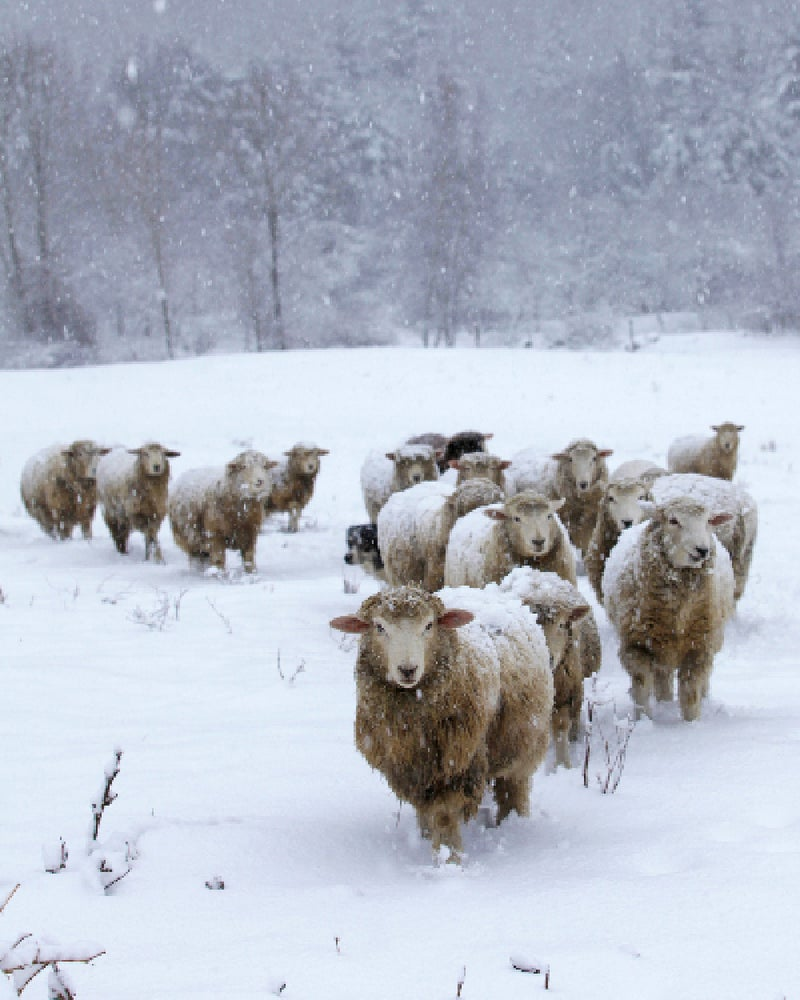 Image of Notecards - Set of 10 - Sheep Coming In - FREE SHIPPING