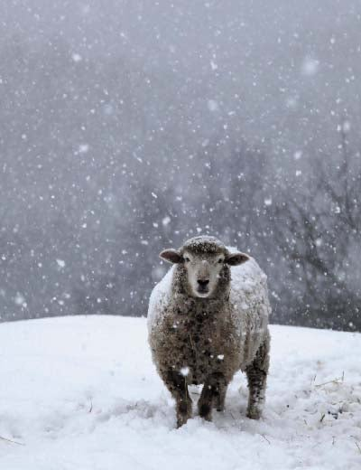 Image of Notecards - Set of 10 - Lone Sheep in Snow - FREE SHIPPING