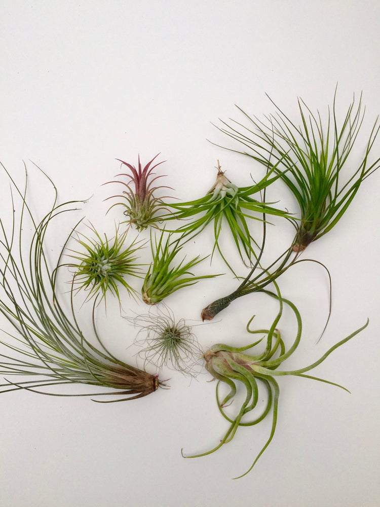 Image of Mixed air plants