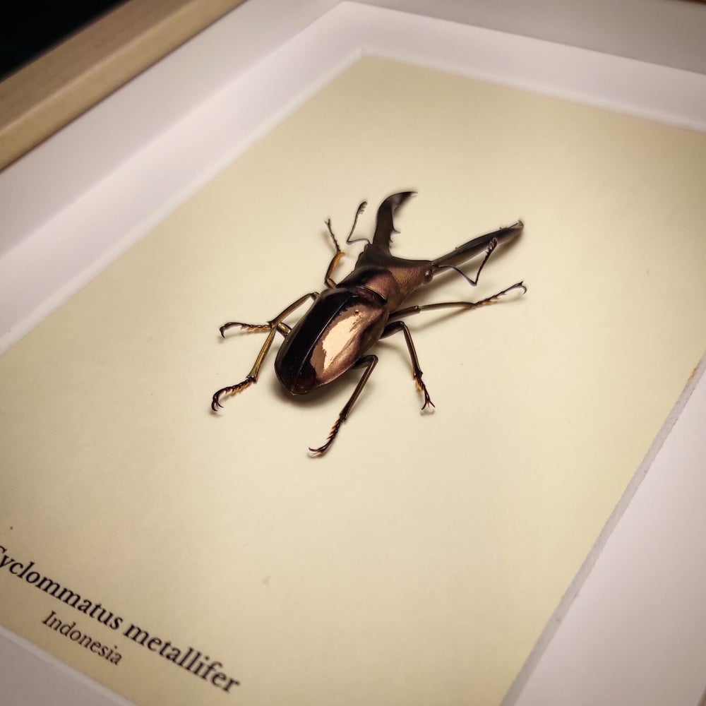Image of Cyclommatus metallifer (Closed wings)