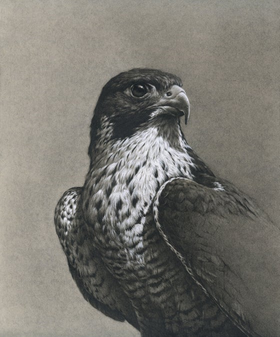 Image of Peregrine (Silver Lining Sketches November 2020)