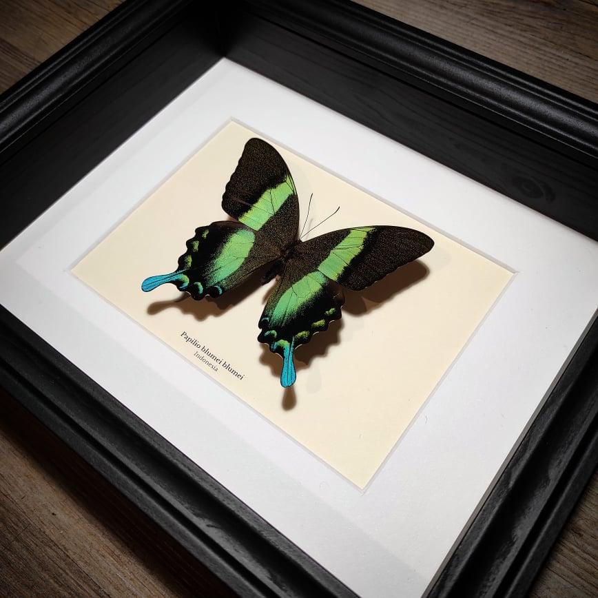 Image of Papilio blumei blumei