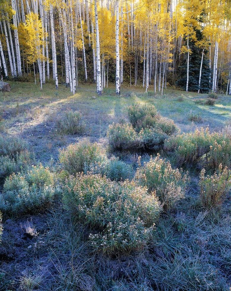 Image of Sunbeams Through Aspens, Uncompahgre National Forest, Colorado