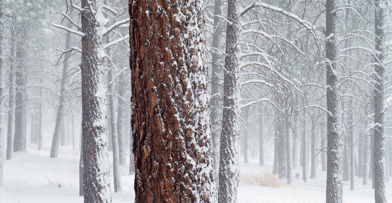 Image of Ponderosas in Snow, Flagstaff, Arizona