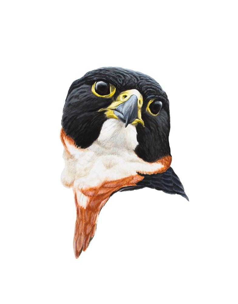 "Image of 11x14"" Limited Giclee Print: Orange-breasted Falcon (Falco deiroleucus"