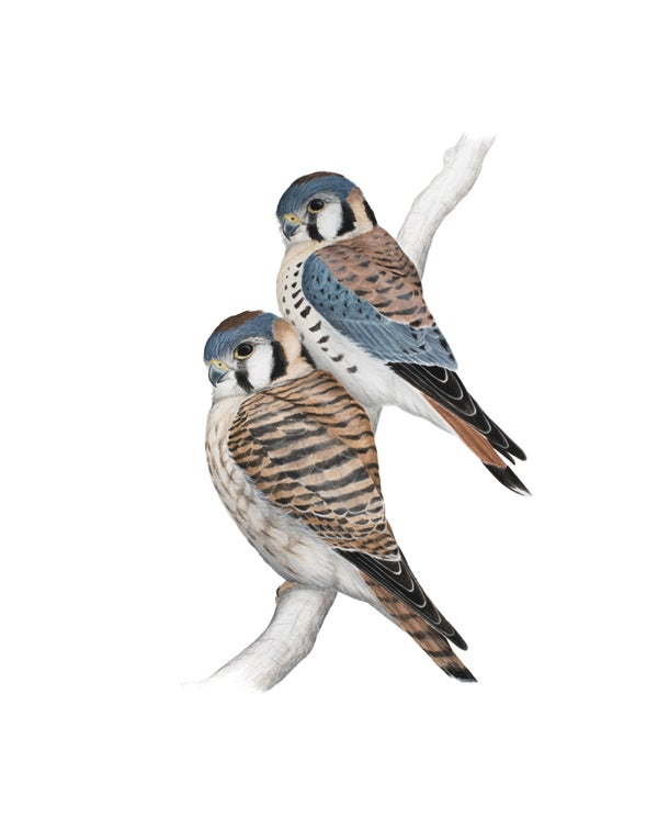 "Image of 11x14"" Limited Giclee Print: American Kestrel Pair"