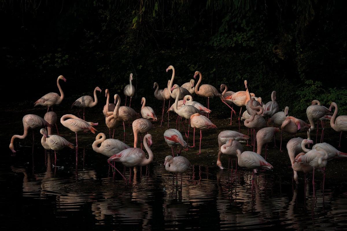 Image of flamingo_3