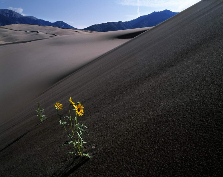 Image of Pioneer Sunflowers, Great Sand Dunes National Park, Colorado