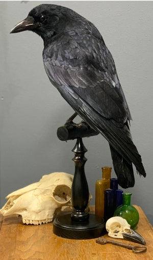 Beautiful carrion crow