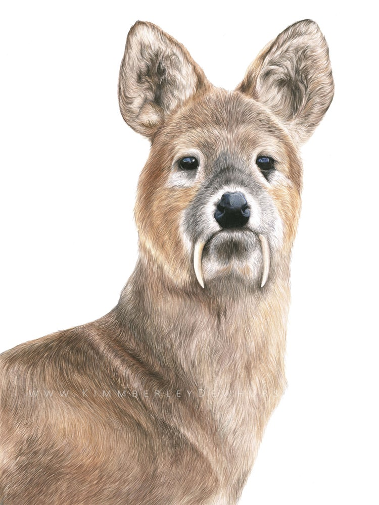 Image of 'Chinese Water Deer' Portrait Limited Edition Print